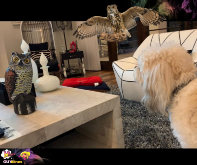 Havanese Dog Vs. Owl Scarecrow